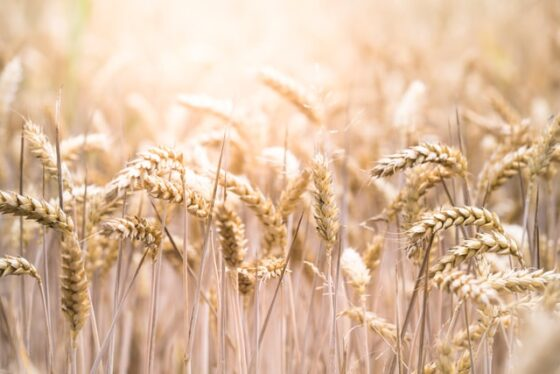 Rye(ライ)│大麦