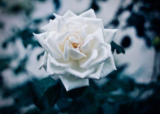 Rhodes(ロドス)│バラが育つ場所