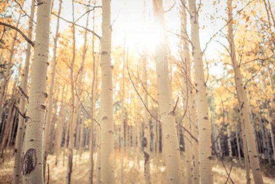 Birch(バーチ)│白樺