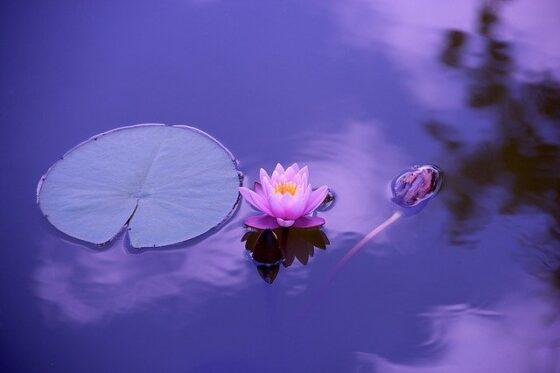 Lotus(ロータス)│睡蓮