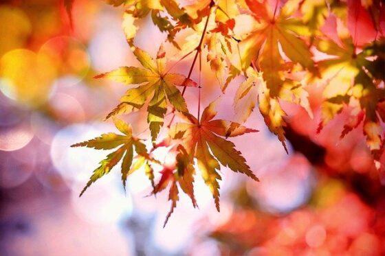 Javor(ジェイバー)│楓の木
