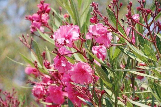 Oleander(オレアンダー)│夾竹桃