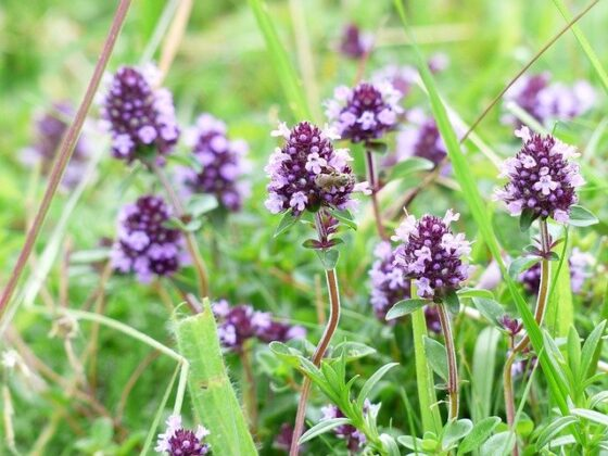 Thyme(タイム)