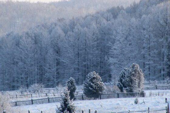 Cedar(シダー)│杉の木