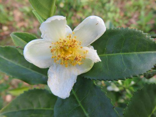 Camellia Sinensis お茶 紅茶