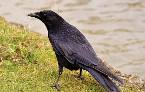 Raven レイブン カラス ワタリガラス