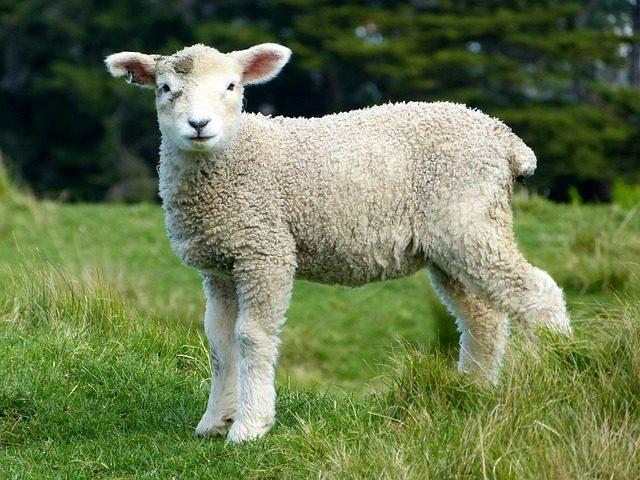 オープンファームサンデー イギリス 羊